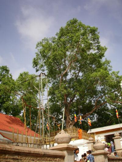 Sri Maha Bodhiya - træet og templet