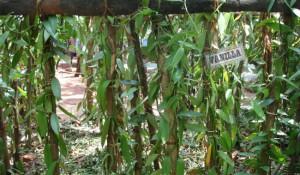 krydderi have (Spice garden)