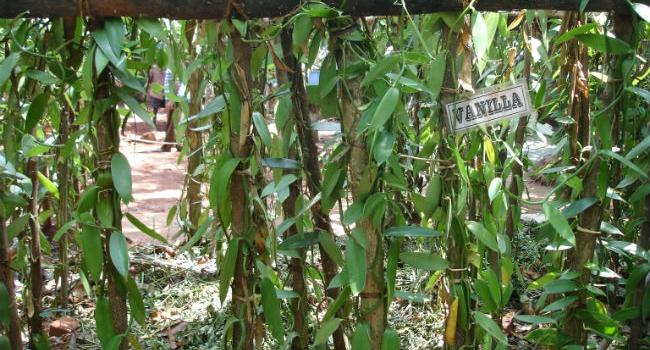 Besøg i krydderi have (Spice garden) på Sri Lanka