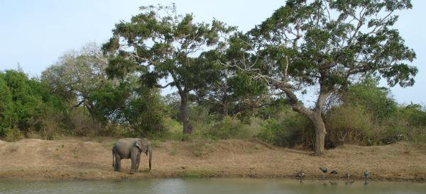 Elefant og påfugle