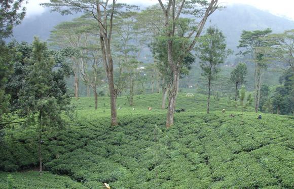 Udsigt over te plantager