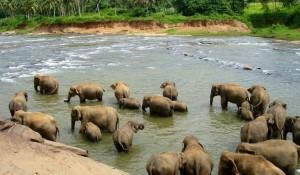Besøg i Pinnawala elefanterne