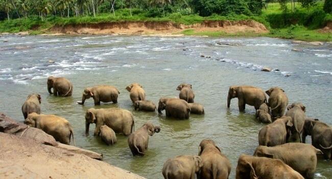 Besøg hos Pinnawala elefantbørnehjem på Sri Lanka