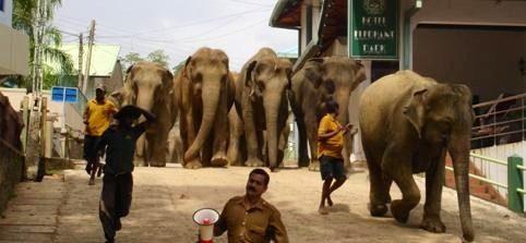 Elefanter på vej mod floden Pinnawala