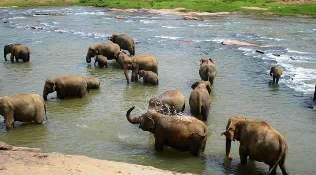 Elefanterne bader ved Pinnawala elefantbørnehjemmet
