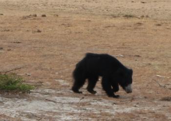 Yala - Bjørn