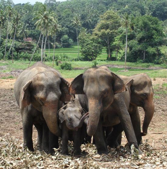 Elefant beskytter unge