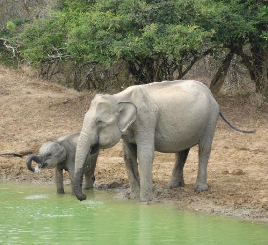 Elefant med unge drikker vand