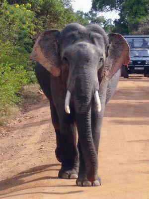 Elefant paa vejen efter safair jeep